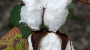 Dowell's 'It's Just Cotton' shows the sharp pods that shred cotton pickers' hands. (Photo by John Dowell, courtesy of AAMP.)