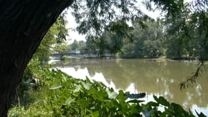 A photo of a large, calm, greenish-brown river, taken from behind abundant summer greenery on the bank.