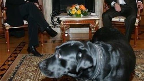 International diplomacy is a dog-eat-dog world: Merkel, Putin, and Putin's Labrador retriever Konni. (Photo via theunorthodoxangora.com.)