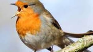If I listen carefully to the robin's song— or to a foreign language— I get the gist of the conversation.