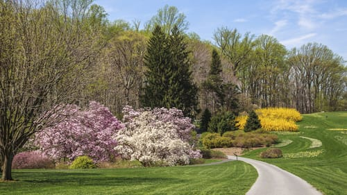 Stroll through Winterthur's gardens, like Magnolia Bend, where in early spring the path leads past daffodils, magnolias, and forsythia. (Photo by Lois Mauro, courtesy of Winterthur Museum.)