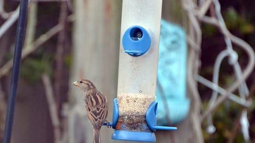 Hey birdie, are you ready to listen? (Photo by Tony Alter, via Wikimedia Commons.)
